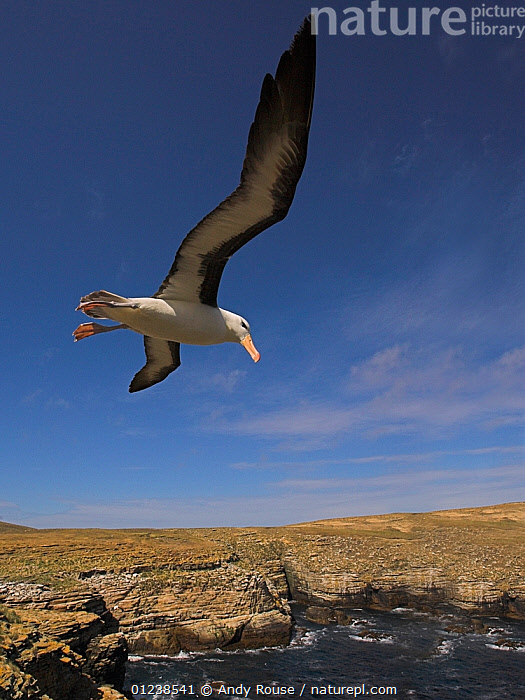 Black-browed albatross (Thalassarche melanophrys) flying over coastal habitat, Falkland Islands  ,  ALBATROSSES,animals in the wild,ATLANTIC,BIRDS,CATALOGUE2,CLIFFS,close up,coastal,COASTS,DIOMEDEA MELANOPHRYS,elevated view,Falkland Islands,FALKLAND ISLANDS,FLYING,FREEDOM,horizon,horizon over land,LANDSCAPES,low angle view,LOW ANGLE SHOT,nature,Nobody,one animal,outdoors,ROCKS,sea,SEABIRDS,SKY,sunlight,VERTEBRATES,VERTICAL,wild life,WILDLIFE,WINGS,wingspan,Marine,Geology,CONCEPTS  ,  Andy Rouse