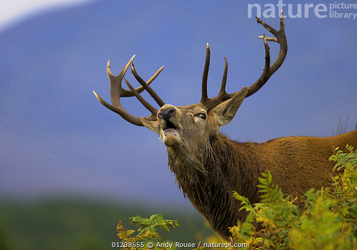 Red deer (Cervus elaphus) stag calling to hinds during rut, Scottish Highlands, UK, ANTLERS,ARTIODACTYLA,BEHAVIOUR,CALLING,CERVIDS,COURTSHIP,CUTOUT,DEER,EUROPE,MALES,MAMMALS,MATING BEHAVIOUR,UK,VERTEBRATES,VOCALISATION,Reproduction, United Kingdom, Andy Rouse