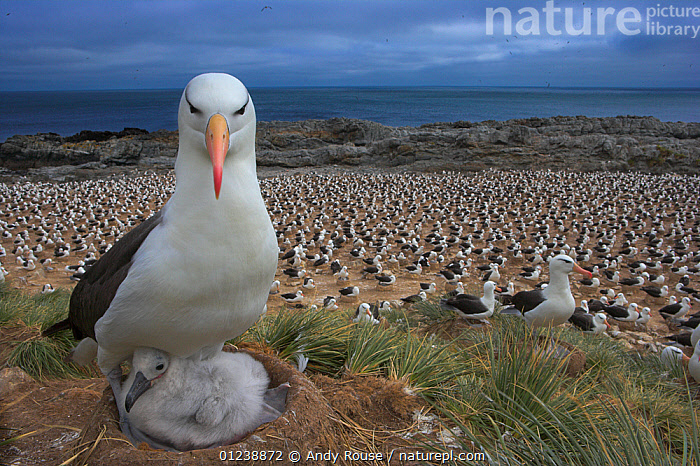 Black-browed albatross (Thalassarche melanophrys) with chick on nest, part of a large colony, Steeple Jason, Falkland Islands (non-ex)  ,  ALBATROSSES,animal family,animal nest,animals in the wild,BABIES,beach,BIRDS,care,CATALOGUE2,CHICKS,close up,colony of birds,DIOMEDEA MELANOPHRYS,Falkland Islands,FALKLAND ISLANDS,full length,GROUPS,LANDSCAPES,large group of animals,looking at camera,nature,Nest,NESTS,Nobody,non urban scene,OCEAN,outdoors,PARENTAL,protection,sea,SEABIRDS,Steeple Jackson,VERTEBRATES,view to sea,wild life,WILDLIFE,young animal  ,  Andy Rouse
