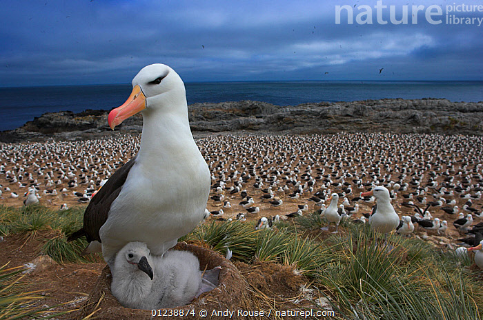 Black-browed albatross (Thalassarche melanophrys) with chick on nest, part of a large colony, Steeple Jason, Falkland Islands (non-ex)  ,  ALBATROSSES,alert,animal theme,BABIES,BIRDS,care,catalogue4,chick,CHICKS,COASTS,colony,DIOMEDEA MELANOPHRYS,Falkland Islands,FALKLAND ISLANDS,GROUPS,large group of animals,looking away,multitude,nesting,NESTS,Nobody,PARENTAL,protection,sea,SEABIRDS,Steeple Jason,two animals,VERTEBRATES,view to sea,watchful,WILDLIFE,young animal  ,  Andy Rouse