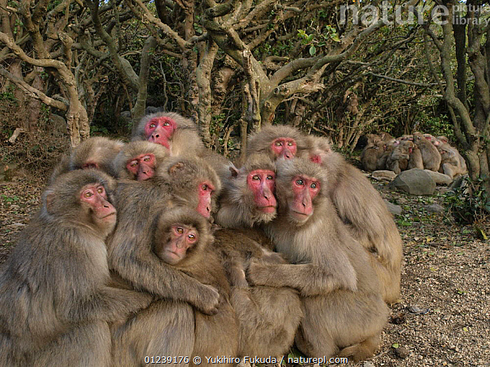 Two groups of Japanese macaques (Macaca fuscata) huddling together for warmth on a cold day, Shodoshima, Japan, ASIA,BEHAVIOUR,GROUPS,JAPAN,MACAQUES,MAMMALS,MONKEYS,PRIMATES,SNOW MONKEY,THERMOREGULATION,TREES,VERTEBRATES,PLANTS, Yukihiro Fukuda