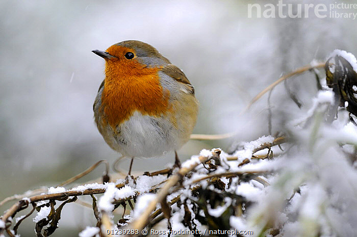 Robin (Erithacus rubecula) perched on snowy branch, Broxwater, Cornwall, UK.  ,  BIRDS,CHATS,CHRISTMAS,ENGLAND,EUROPE,FESTIVE,PORTRAITS,RED,SNOW,UK,VERTEBRATES,WINTER, United Kingdom  ,  Ross Hoddinott