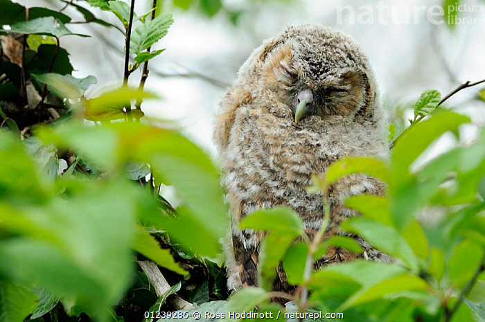 Juvenile Tawny owl (Strix aluco), resting on branch during daytime with eyes closed, Broxwater, Cornwall, UK.  ,  BIRDS,BIRDS OF PREY,CHICKS,ENGLAND,EUROPE,JUVENILE,OWLS,PORTRAITS,SLEEPING,UK,VERTEBRATES, United Kingdom  ,  Ross Hoddinott