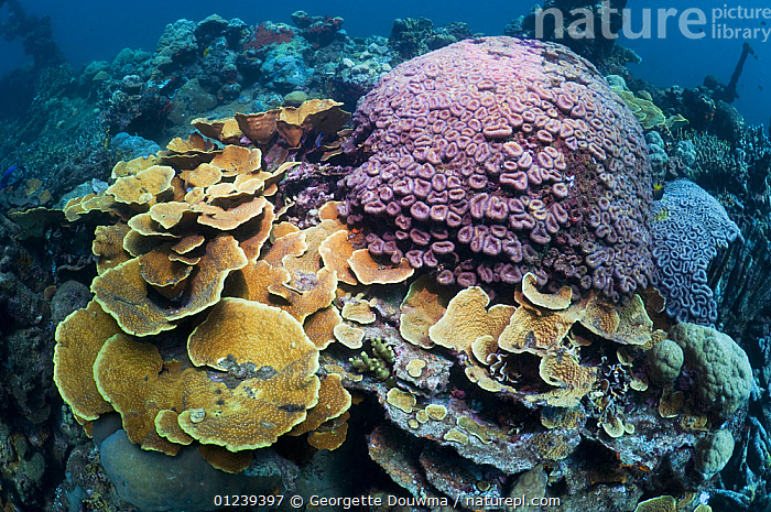 "Corals adorn the wreck of the ""Kasi Maru"", a Japanese merchant ship sunk in fifty feet of water off Munda in Ironbottom Sound during a World War II bombing raid July 1943. Solomon Islands.  ,  ARTIFICIAL REEFS,BOATS,COLONISATION,CORAL REEFS,CORALS,HISTORICAL,INVERTEBRATES,LANDSCAPES,MARINE,PACIFIC,PACIFIC ISLANDS,TROPICAL,UNDERWATER,WRECKS,Anthozoans, Cnidaria  ,  Georgette Douwma"