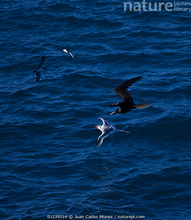 Red billed tropicbird {Phaethon aethereus} and Great frigate birds {Fregata minor} in flight over sea, Plaza Island, Galapagos, January  ,  BIRDS,FLYING,GALAPAGOS,MIXED SPECIES,SEABIRDS,TROPICBIRDS,VERTEBRATES,VERTICAL,VOCALISATION,SOUTH-AMERICA  ,  Juan Carlos Munoz