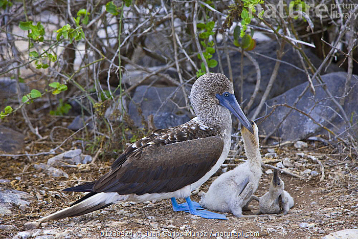 Blue footed booby {Sula nebouxii} feeding chick at nest, Galapagos, January  ,  BIRDS,BOOBIES,CHICKS,FAMILIES,GALAPAGOS,NESTS,PARENTAL BEHAVIOUR,SEABIRDS,VERTEBRATES  ,  Juan Carlos Munoz