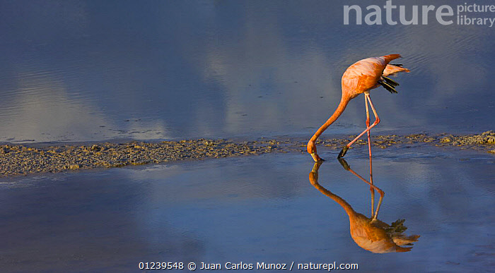 Greater flamingo {Phoenicopterus ruber} feeding in coastal lagoon, Isabela Island, Galapagos, January  ,  BIRDS,COASTS,FEEDING,FLAMINGOS,GALAPAGOS,REFLECTIONS,VERTEBRATES,WADERS,WATER,SOUTH-AMERICA  ,  Juan Carlos Munoz