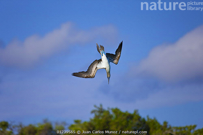 Blue footed booby {Sula nebouxii} diving, Galapagos, January  ,  BEHAVIOUR,BIRDS,BOOBIES,DIVING,FLYING,GALAPAGOS,SEABIRDS,VERTEBRATES,Catalogue1  ,  Juan Carlos Munoz