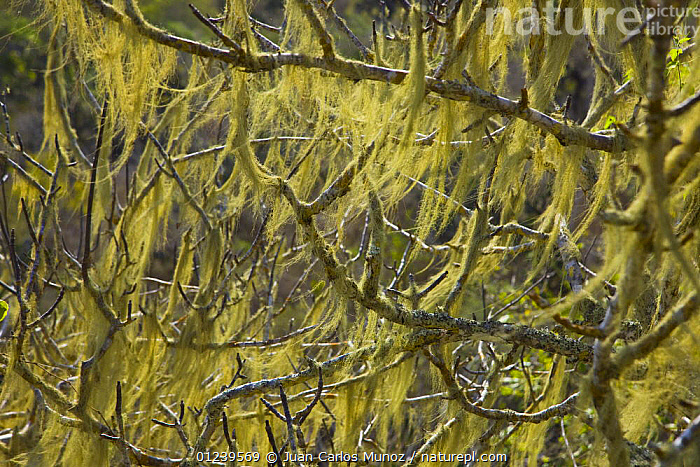 Tree branches covered in lichen, Isabela Island, Galapagos, January  ,  ARTY SHOTS,GALAPAGOS,LICHENS,PLANTS,TREES  ,  Juan Carlos Munoz
