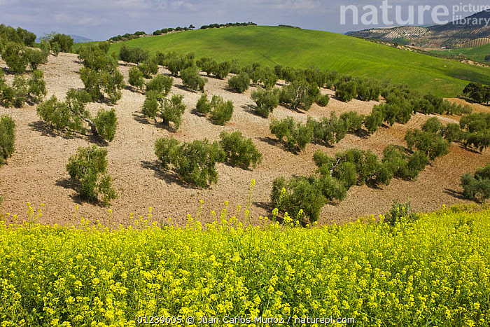 New Olive grove with Oilseed rape flowering in the foreground, Sevilla, Andaluc�a, Spain, March 2008  ,  COUNTRYSIDE,CROPS,EUROPE,LANDSCAPES,olives,SPAIN,YELLOW  ,  Juan Carlos Munoz