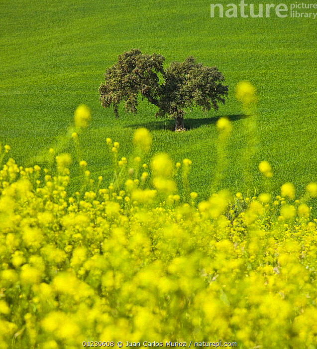Oak tree in field with Oilseed rape flowering in the foreground, Sevilla, Andaluc�a, Spain, March 2008  ,  arty,CROPS,EUROPE,fields,FLOWERS,LANDSCAPES,Quercus,SPAIN,TREES,VERTICAL,YELLOW,PLANTS  ,  Juan Carlos Munoz