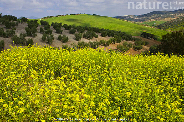 Olive grove with Oilseed rape flowering in the foreground, Sevilla, Andaluc�a, Spain, March 2008  ,  COUNTRYSIDE,CROPS,EUROPE,FLOWERS,LANDSCAPES,SPAIN,YELLOW  ,  Juan Carlos Munoz