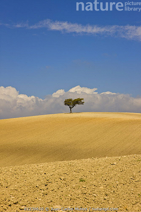 Solitary Oak tree in the middle of a large tilled field, Sevilla, Andaluc�a, Spain, March 2008  ,  AGRICULTURE,EMPTY,EUROPE,fields,LANDSCAPES,ploughed,Quercus,SPAIN,TREES,VERTICAL,PLANTS  ,  Juan Carlos Munoz
