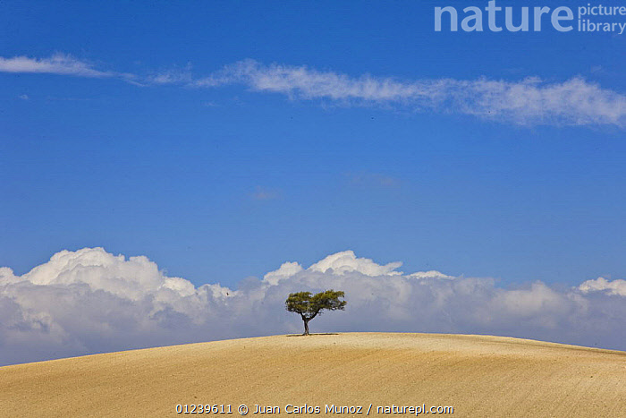 Solitary Oak tree in the middle of a large tilled field, Sevilla, Andaluc�a, Spain, March 2008  ,  AGRICULTURE,emtpy,EUROPE,FARMLAND,fields,LANDSCAPES,ploughed,Quercus,SPAIN,TREES,PLANTS  ,  Juan Carlos Munoz