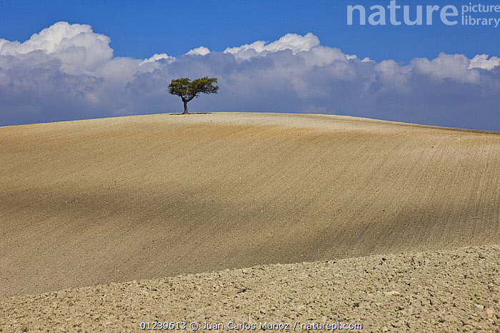 Solitary Oak tree in the middle of a large tilled field, Sevilla, Andaluc�a, Spain, March 2008  ,  AGRICULTURE,EMPTY,EUROPE,FARMLAND,fields,LANDSCAPES,ploughed,Quercus,SPAIN,TREES,PLANTS  ,  Juan Carlos Munoz
