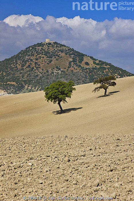Two Oak trees in the middle of a large tilled field, Sevilla, Andaluc�a, Spain, March 2008  ,  AGRICULTURE,EUROPE,FARMLAND,fields,LANDSCAPES,Quercus,SPAIN,TREES,VERTICAL,PLANTS  ,  Juan Carlos Munoz