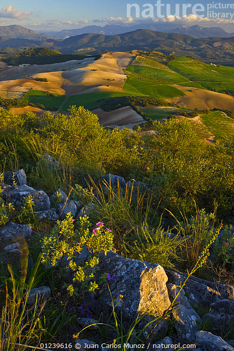Landscape of fields and countryside with wildflowers in the foreground, mountains in background, Sevilla, Andaluc�a, Spain, March 2008  ,  EUROPE,FLOWERS,LANDSCAPES,SPAIN,VERTICAL  ,  Juan Carlos Munoz