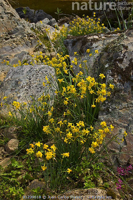 Wild Narcissus daffodils flowering amongst rocky ground, Sevilla, Andaluc�a, Spain, March 2008  ,  AMARYLLIDACEAE,EUROPE,FLOWERS,MONOCOTYLEDONS,PLANTS,SPAIN,SPRING,VERTICAL,wildflowers,YELLOW  ,  Juan Carlos Munoz
