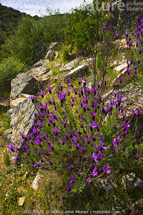 Wild Lavender {Lavandula sp} flowering on rocky ground, Sevilla, Andaluc�a, Spain, March 2008  ,  EUROPE,FLOWERS,PLANTS,PURPLE,ROCKS,SPAIN,VERTICAL  ,  Juan Carlos Munoz
