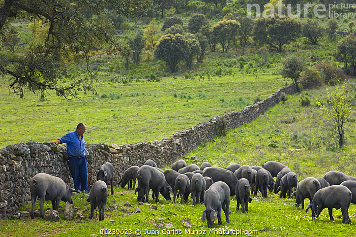 Farmer watching over his herd of Spanish black pigs grazing, Sevilla, Andaluc�a, Spain, March 2008  ,  COUNTRYSIDE,EUROPE,free range,GROUPS,LANDSCAPES,LIVESTOCK,PEOPLE,Pig,PIGS,shepherd,SPAIN  ,  Juan Carlos Munoz