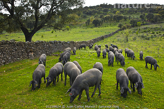 Herd of Spanish black pigs grazing, Sevilla, Andaluc�a, Spain, March 2008  ,  COUNTRYSIDE,EUROPE,GROUPS,LANDSCAPES,LIVESTOCK,Pig,PIGS,SPAIN  ,  Juan Carlos Munoz
