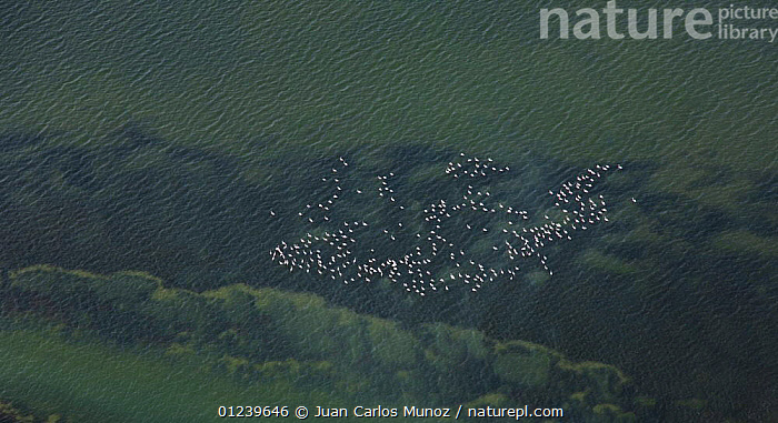 Aerial view of the flock of flamingos flying near the coast of Bahia / Bay de Cadiz Natural Park, Andalucia, Spain, March 2008  ,  AERIALS,BIRDS,COASTS,FLAMINGOS,FLOCKS,FLYING,MARSHES,PATTERNS,RESERVE,RIVERS,WETLANDS,Europe  ,  Juan Carlos Munoz