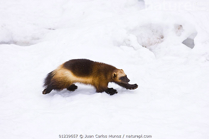 Wolverine (Gulo gulo) walking over snow, captive, Finland  ,  captive,CARNIVORES,EUROPE,MAMMALS,SNOW,VERTEBRATES,WINTER,WOLVERINES,Scandinavia, Europe  ,  Juan Carlos Munoz