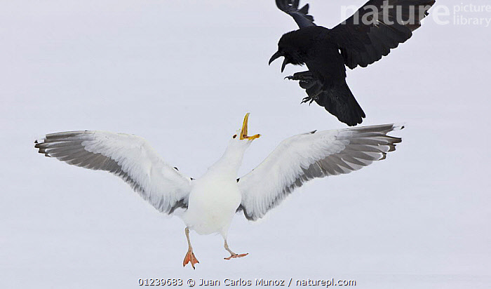 Greater black backed gull (Larus marinus) chasing off a Common crow (Corvus corax) Lokka lake, Finland, April 2008  ,  AGGRESSION,BEHAVIOUR,BIRDS,CROWS,EUROPE,FIGHTING,GULLS,MIXED SPECIES,SEABIRDS,SNOW,VERTEBRATES,WINTER,Concepts,Scandinavia, Europe  ,  Juan Carlos Munoz