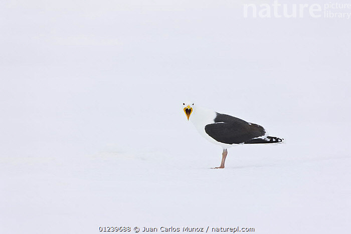 Greater black backed gull (Larus marinus) calling, camouflaged against snow, Lokka lake, Finland, April 2008  ,  BEHAVIOUR,BIRDS,CAMOUFLAGE,EUROPE,GULLS,SEABIRDS,SNOW,VERTEBRATES,VOCALISATION,WINTER,Scandinavia, Europe  ,  Juan Carlos Munoz