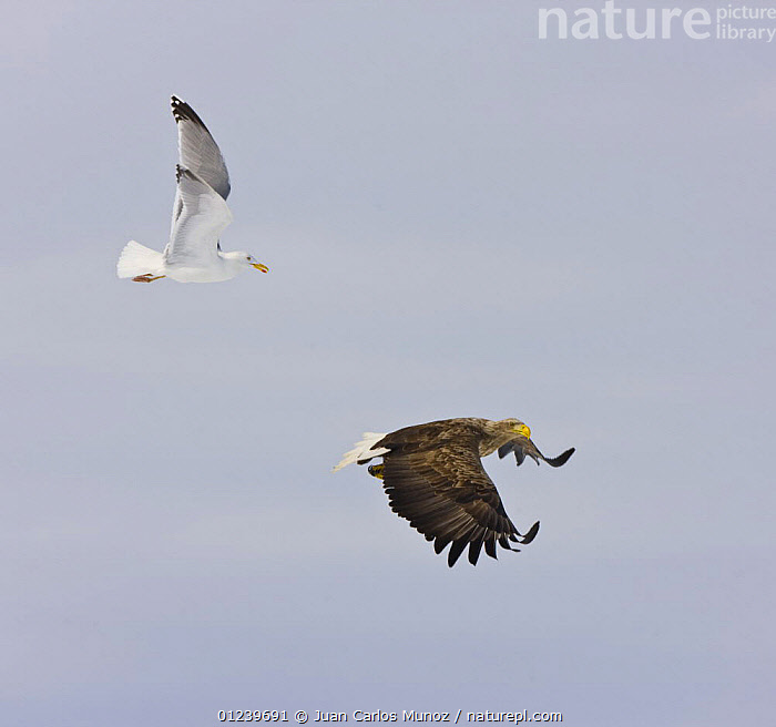 White tailed sea eagle (Haliaetus albicilla) and Herring gull (Larus argentatus) in flight, Lokka lake, Finland, April 2008  ,  BIRDS OF PREY,EAGLES,EUROPE,GULLS,MIXED SPECIES,PROFILE,SEABIRDS,SNOW,two,VERTEBRATES,WINTER,Scandinavia, Europe  ,  Juan Carlos Munoz