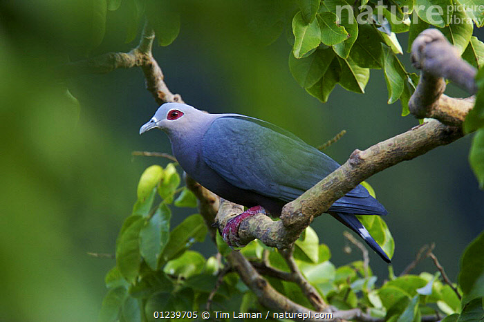 Pinon's imperial pigeon (Ducula pinon) on branch, Batanta Island, Papua, Indonesia  ,  ASIA,BIRDS,BLUE,COLOURFUL,COLUMBIFORMES,DOVES,PORTRAITS,VERTEBRATES  ,  Tim Laman