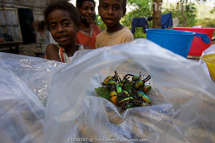 Beetles collected by village children to show Tim Laman, Arfak Mountains, Papua, Indonesia, December 2004  ,  ASIA,BEETLES,CHILDREN,COLEOPTERA,GROUPS,INSECTS,IRIDESCENT,PEOPLE,SOUTH EAST ASIA,Invertebrates  ,  Tim Laman