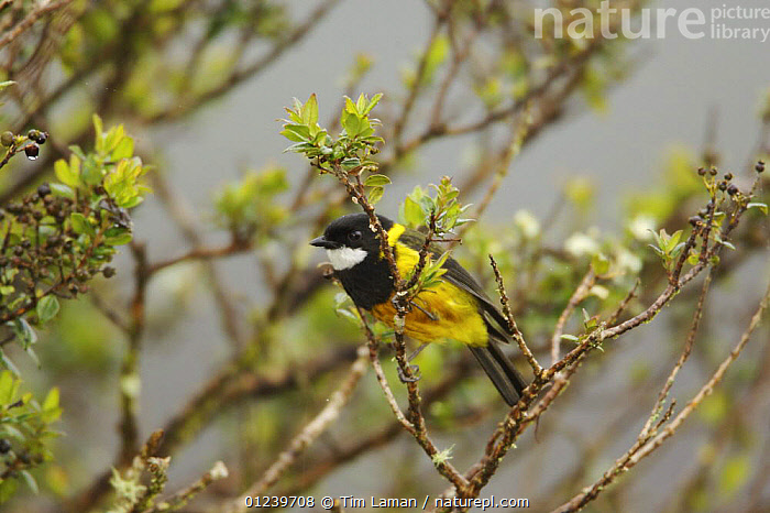 Regent whistler (Pachycephala schlegelii) male perched in a tree, Southwestern slopes of Mt. Hage, Enga Province, Paupa New Guinea  ,  BIRDS,MALES,OCEANIA,VERTEBRATES,WHISTLERS  ,  Tim Laman