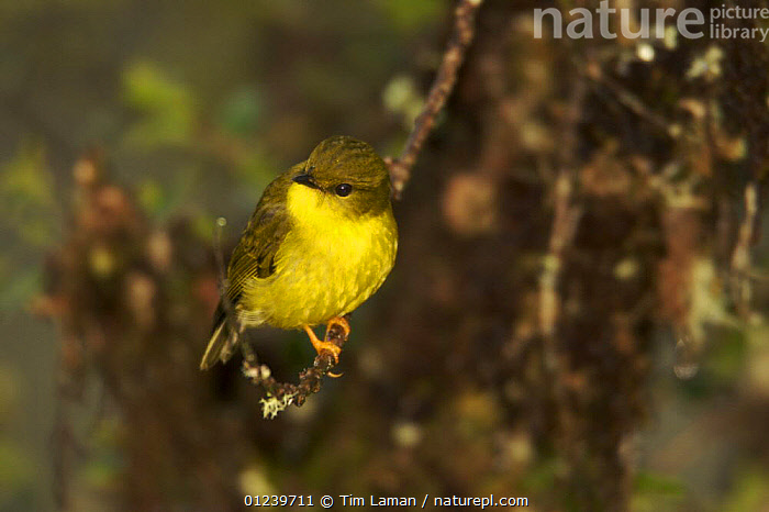 Canary flycatcher / flyrobin (Microeca papuana) perched on a branch in the forest, Southwestern slopes of Mt. Hage, Enga Province, Paupa New Guinea  ,  ASIA,BIRDS,OCEANIA,PORTRAITS,ROBINS,VERTEBRATES,YELLOW  ,  Tim Laman