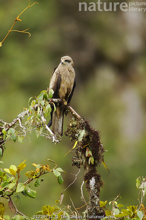 Black kite (Milvus migrans) on branch, southwestern slopes of Mt. Hage, Enga Province, Paupa New Guinea  ,  BIRDS,BIRDS OF PREY,KITES,OCEANIA,PORTRAITS,TREES,VERTEBRATES,VERTICAL,PLANTS  ,  Tim Laman