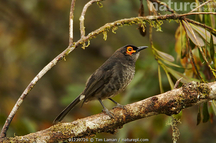 Common smoky honeyeater (Melipotes fumigatus) on a branch in the vicinity of Mt. Hagen, Enga Province, Papua New Guinea  ,  BIRDS,BRANCHES,HONEYEATERS,OCEANIA,PORTRAITS,PROFILE,VERTEBRATES,NEW GUINEA  ,  Tim Laman