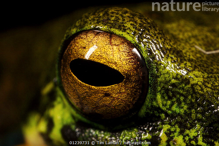 Tree frog, close-up of eye, Crater Mountain Wildlife Management Area, Eastern Highlands Province, Papua New Guinea  ,  AMPHIBIANS,ANURA,CLOSE UPS,EYES,FROGS,OCEANIA,TREE FROGS,TROPICAL RAINFOREST,VERTEBRATES,NEW GUINEA,Catalogue1  ,  Tim Laman
