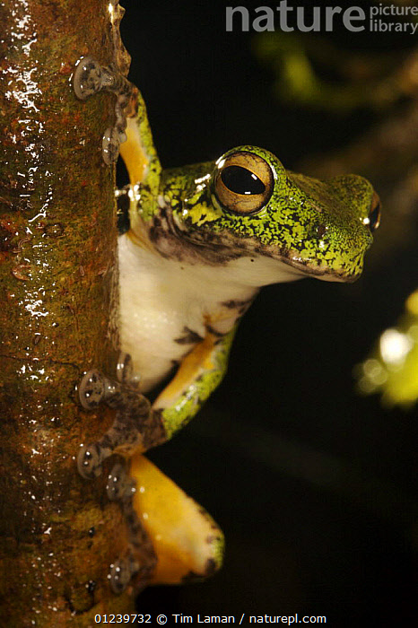 Tree frog looking out from behind tree, Crater Mountain Wildlife Management Area, Eastern Highlands Province, Papua New Guinea  ,  AMPHIBIANS,ANURA,FROGS,OCEANIA,PORTRAITS,TREE FROGS,TROPICAL RAINFOREST,VERTEBRATES,VERTICAL,NEW GUINEA  ,  Tim Laman