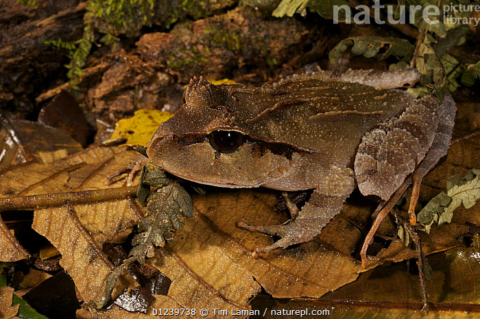 Ground frog, Crater Mountain Wildlife Management Area, Eastern Highlands Province, Papua New Guinea  ,  AMPHIBIANS,ANURA,FROGS AND TOADS,LEAVES,OCEANIA,TROPICAL RAINFOREST,VERTEBRATES,NEW GUINEA  ,  Tim Laman