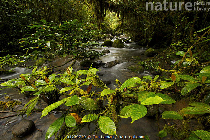 Rainforest stream with moss covered trees and rocks, Crater Mountain Wildlife Management Area, Eastern Highlands Province, Papua New Guinea, September 2005  ,  ASIA,LANDSCAPES,LEAVES,MOSS,OCEANIA,RIVERS,SOUTH EAST ASIA,TROPICAL RAINFOREST,NEW GUINEA  ,  Tim Laman