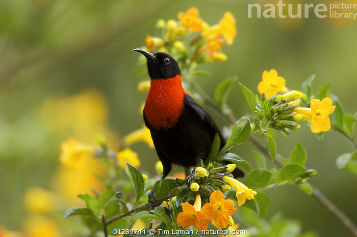 Red-collared myzomela (Myzomela rosenbergii) portrait, Tomba Pass, Enga Province, Papua New Guinea  ,  ASIA,BIRDS,CLOUD FOREST,FLOWERS,HONEYEATERS,OCEANIA,PORTRAITS,VERTEBRATES,YELLOW,NEW GUINEA  ,  Tim Laman