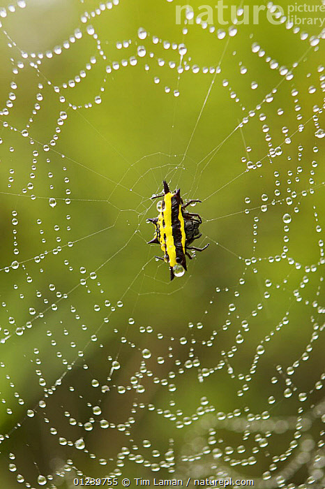 Spiny backed spider (Gasteracatha sp) on dew covered web, Tari Valley vicinity, Southern Highlands Province, Papua New Guinea  ,  ARACHNIDS,ARTHROPODS,ASIA,BLACK,DEW,INVERTEBRATES,OCEANIA,ORB WEAVER SPIDERS,SPIDERS,SPIDER WEBS,VERTICAL,WEIRD,YELLOW,NEW GUINEA  ,  Tim Laman