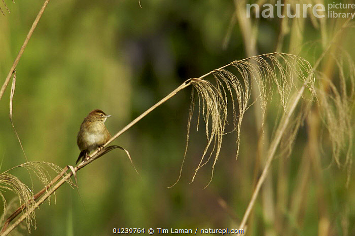 Tawny grassbird (Megalurus timoriensis) on grass stem, Tari Valley vicinity, Southern Highlands Province, Papua New Guinea  ,  ASIA,BIRDS,GRASSBIRDS,GRASSES,OCEANIA,SMALL,VERTEBRATES,NEW GUINEA  ,  Tim Laman