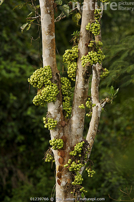 A cauliflorous fruiting fig, possibly Ficus variegata, Huon Peninsula, Marobe Province, Papua New Guinea  ,  DICOTYLEDONS,FRUIT,MORACEAE,OCEANIA,PLANTS,TREES,VERTICAL,NEW GUINEA  ,  Tim Laman