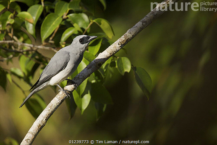 White-bellied cuckoo-shrike (Coracina papuensis) perched, Huon Peninsula, Monrobe Province, Papua New Guinea  ,  ASIA,BIRDS,BRANCHES,CUCKOO SHRIKES,OCEANIA,PORTRAITS,TROPICAL RAINFOREST,VERTEBRATES,NEW GUINEA  ,  Tim Laman