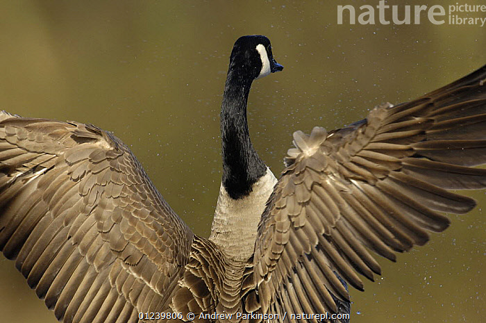 Rear view of Canada goose (Branta canadensis) drying its wings, morning light, Derbyshire, UK  ,  BEHAVIOUR,BIRDS,EUROPE,FEATHERS,GEESE,PATTERNS,SPRAY,STRETCHING,UK,VERTEBRATES,WATERFOWL,WINGS, United Kingdom  ,  Andrew Parkinson