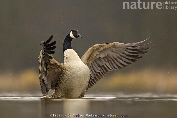 Canada goose (Branta canadensis) drying its wings after bathing, Derbyshire, UK  ,  BEHAVIOUR,BIRDS,EUROPE,GEESE,UK,VERTEBRATES,WATERFOWL,WINGS, United Kingdom  ,  Andrew Parkinson
