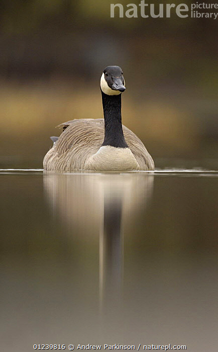 Canada goose (Branta canadensis) portrait on a tranquil lake, Derbyshire, UK  ,  BIRDS,CALM,EUROPE,GEESE,PORTRAITS,REFLECTIONS,UK,VERTEBRATES,VERTICAL,WATERFOWL, United Kingdom  ,  Andrew Parkinson