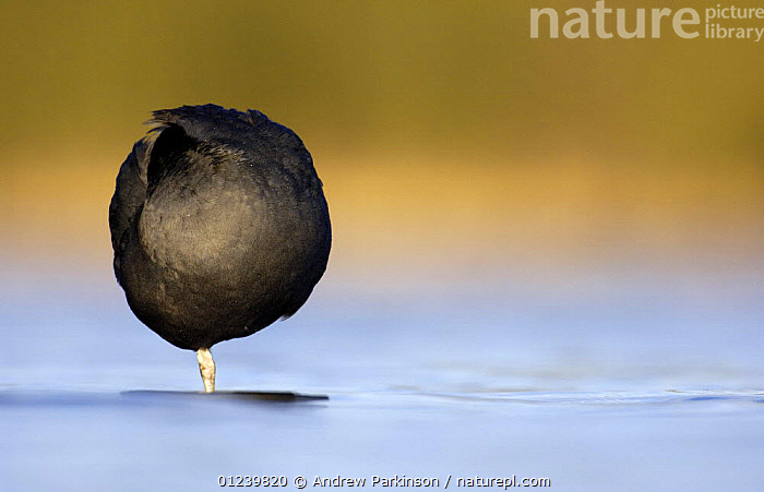 Coot (Fulica atra) forming an almost perfect ball shape as it rests on one leg, Derbyshire, UK, March  ,  BEHAVIOUR,BIRDS,COOTS,EUROPE,RESTING,SLEEPING,UK,VERTEBRATES,WATER,WATERFOWL,ENGLAND, United Kingdom, United Kingdom  ,  Andrew Parkinson