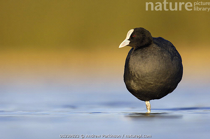 Coot (Fulica atra) standing on one leg at dawn, Derbyshire, UK, March  ,  BIRDS,COOTS,EUROPE,PORTRAITS,UK,VERTEBRATES,WATERFOWL,ENGLAND, United Kingdom, United Kingdom  ,  Andrew Parkinson